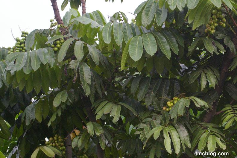Tags: buah , matoa , tabulampot , tanaman